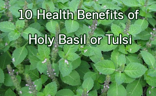 10 Health Benefits of Holy Basil Tulsi